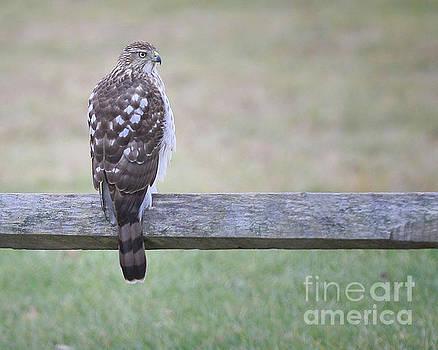 Hawk On Fence by Brian Mollenkopf