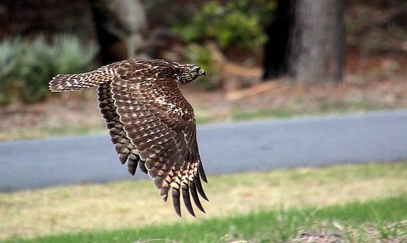 Hawk on the Fly by Rosanne Jordan