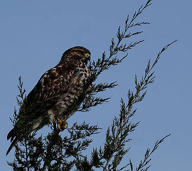 Red Shoulder  Hawk perched high by Ronda Ryan