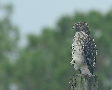 Hawk resting a leg by Keith Lovejoy