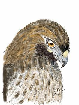 Hawk study by Darren Cannell