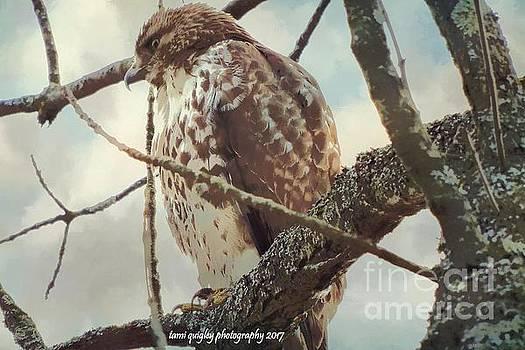 Hawk's Winter Watch by Tami Quigley