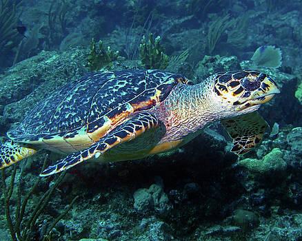 Pauline Walsh Jacobson - Hawksbill Sea Turtle 3