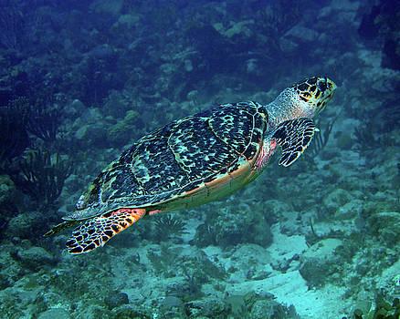 Pauline Walsh Jacobson - Hawksbill Sea Turtle 5