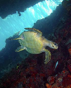 Pauline Walsh Jacobson - Hawksbill Sea Turtle 8