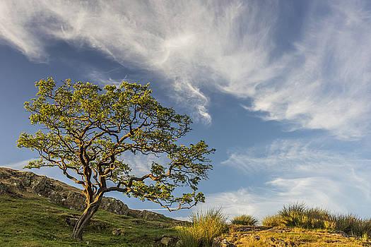 David Taylor - Hawthorn and cloud