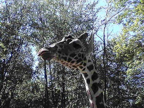 Head Giraffe by Daniel Henning