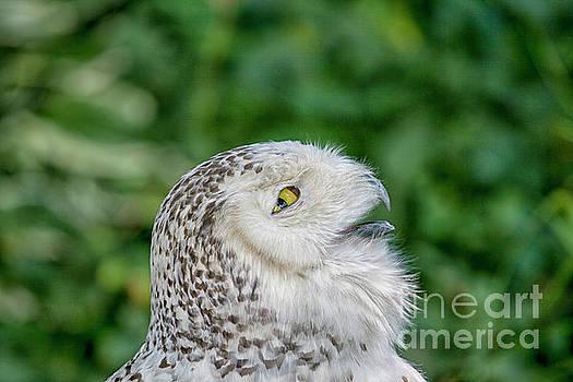 Patricia Hofmeester - Head of snowy owl
