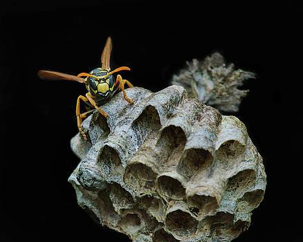 Nikolyn McDonald - Head-on - Paper Wasp - Nest