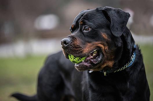 Head shot of Rottweiler .selective focus by Julian Popov