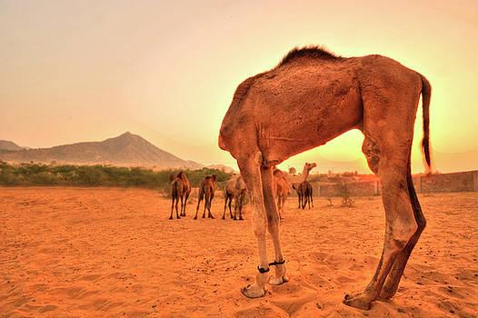 Headless Camel by Aman Chotani