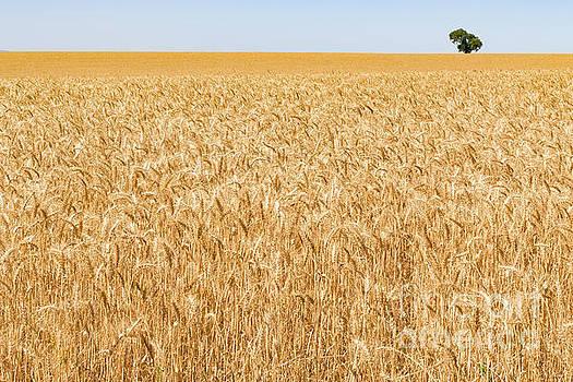 Heads of golden barley in a field before harvesting in a field b by Carl Chapman