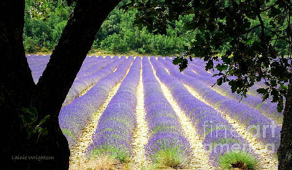 Healing Fields of Lavender by Lainie Wrightson