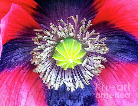 Heart of a Poppy by Lynn Bolt