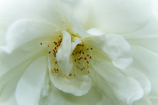 Heart of a Rose - 3 by Barry Jones