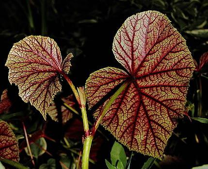 Allen Nice-Webb - Hearty Begonia Backside