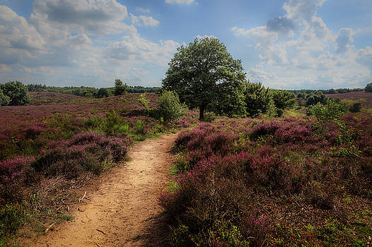 Heath landscape with purple heather flowers by Tim Abeln