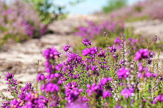 Heather - Calluna vulgaris - in flower in summer by Paul Farnfield