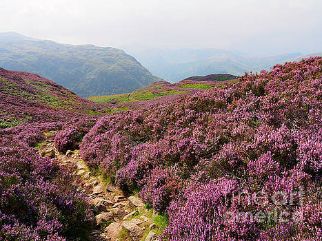 Heather on Stonethwaite Fell below High Crag and Lingy End by Louise Heusinkveld