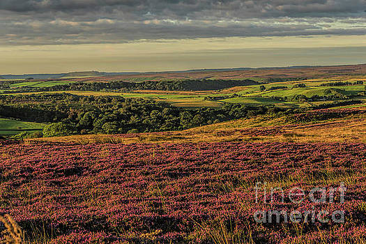Heather on the Moors by David  Hollingworth