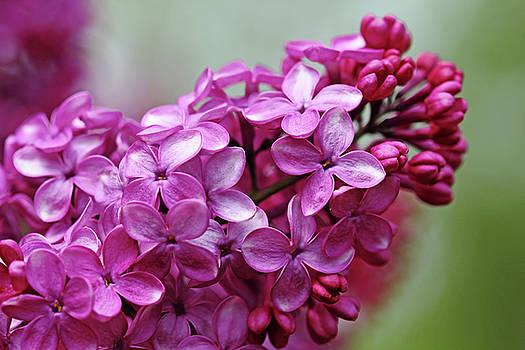 Debbie Oppermann - Heavenly Lilacs