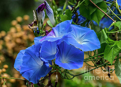 Heavenly Morning Glory by Bob Marquis