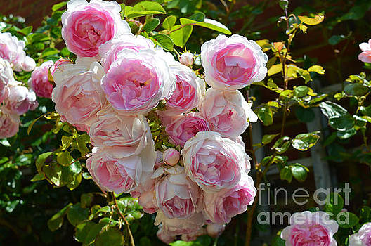 Heavenly roses by Beatrice Cloake