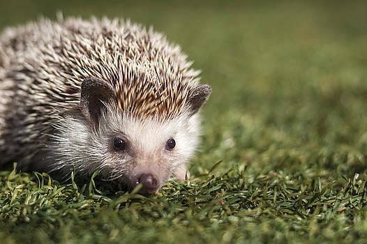 Hernan Bua - Hedgehog