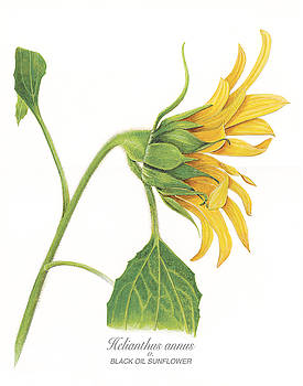 Helianthus annus by Linda Wolfe
