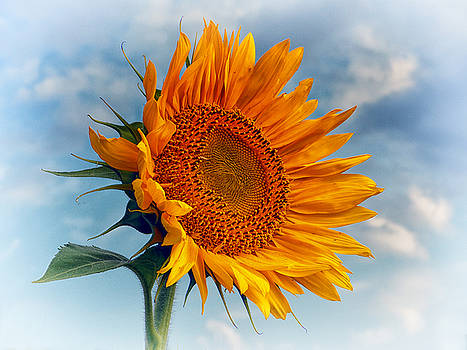 Bill Swartwout Fine Art Photography - Helianthus annuus Greeting the Sun