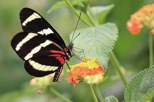Heliconius Melpomene Butterfly by Tim Abeln