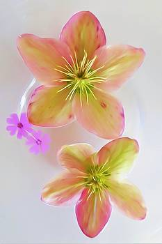 Hellebore Flower Art by Linda C Johnson