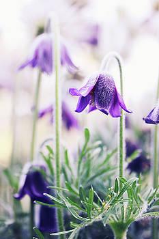 hellebore, purple flower by Iuliia Malivanchuk by Iuliia Malivanchuk