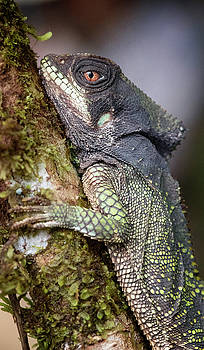 Helmeted Iguana Costa Rica by Joan Carroll