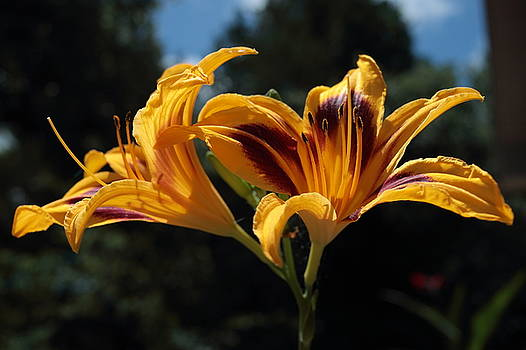 Hemerocallis by John Moyer