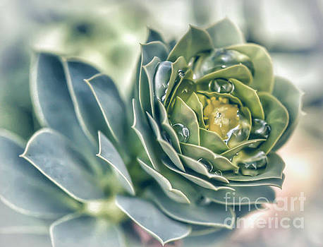 Hens and Chicks Succulent by Kerri Farley