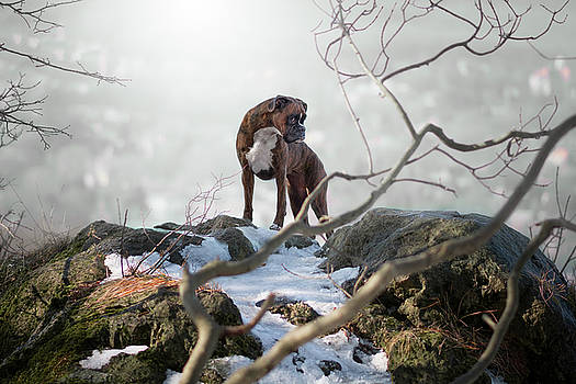 Her Highness the great boxer dog by Tamas Szarka