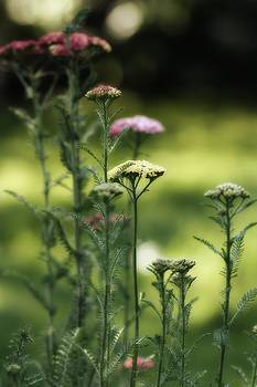 Gothicrow Images - Herb Field Of Beauties