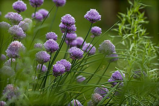 Clare Bambers - Herb Garden.