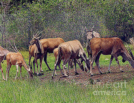 Herd of Antelopes - Lion Country Safari - Florida by Merton Allen