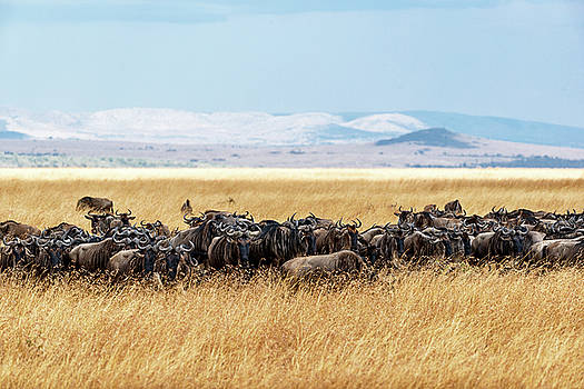 Susan Schmitz - Herd of Buffalo in Tall Kenya Grass