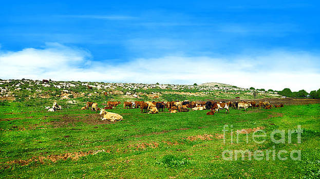 Herd of cows under a blue sky in green hills by Nika Lerman