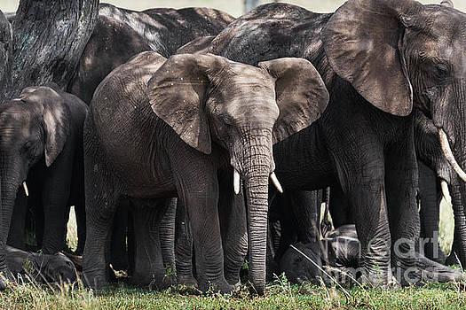 RicardMN Photography - Herd of elephants in the shade in Serengeti