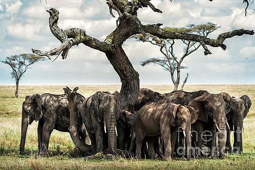 RicardMN Photography - Herd of elephants under a tree in Serengeti