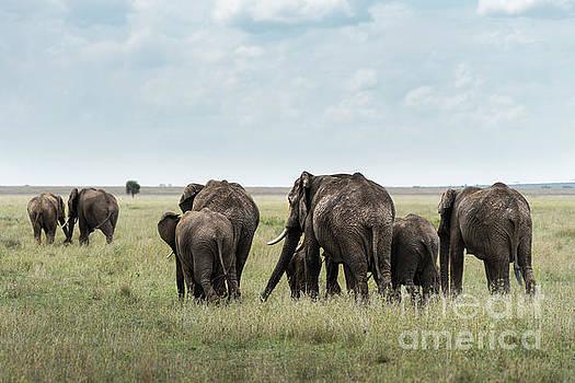 RicardMN Photography - Herd of elephants walking in Serengeti