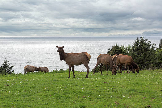Herd of Elk at Ecola State Park by David Gn