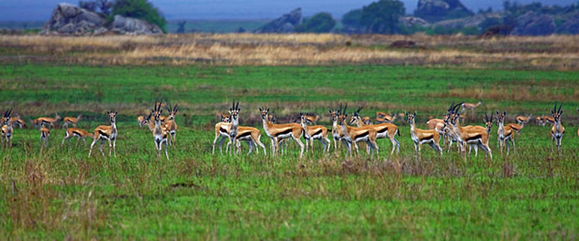 Herd of Thomson's Gazelles by Sally Weigand