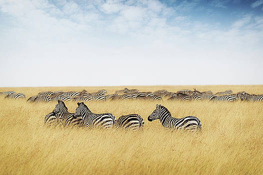 Susan Schmitz - Herd of zebra in tall grass of Kenya Africa
