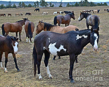 Herds Of Wild Horses by Kathy M Krause