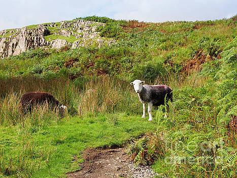 Herdwick sheep grazing in Wasdale Cumbria by Louise Heusinkveld